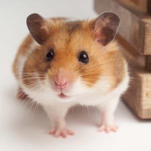 hamster ordinaire